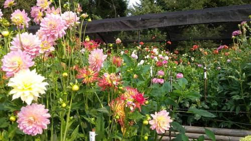 ConniesDahlias